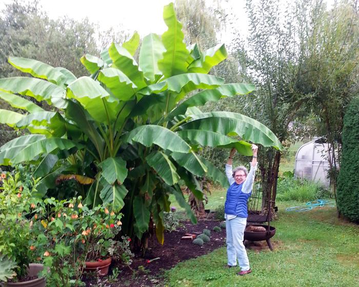 woman with big banana tree