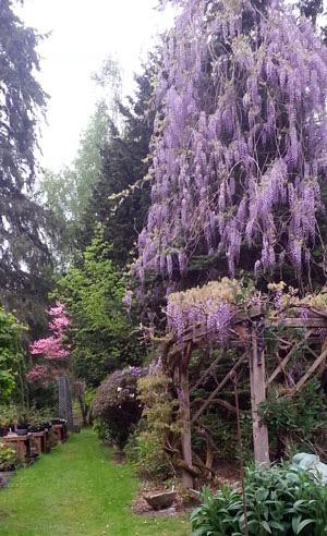 tall purple flowering tree
