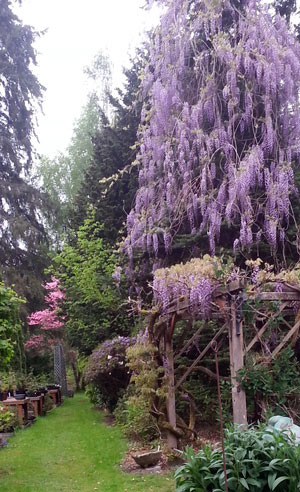 tall purple flowering tree