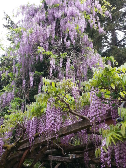 Blooming Wisteria