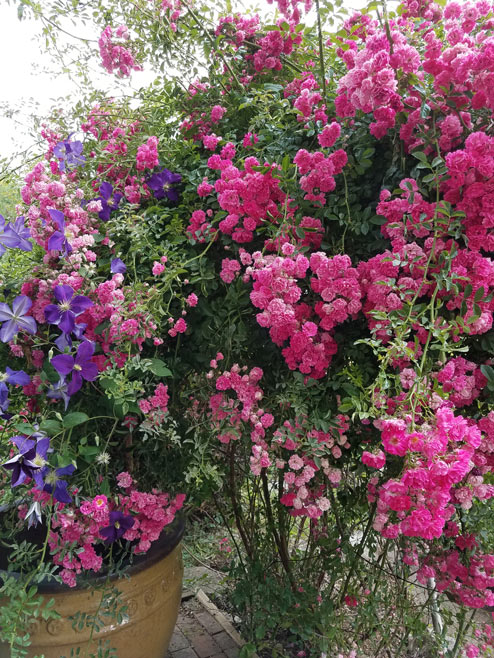 Pink roses and purple clematis