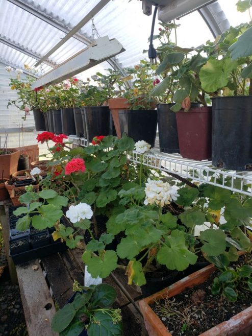Geraniums in the green house